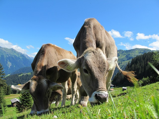 Mucche Cows Mobiix