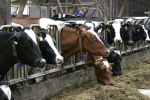 cows_Mobiix_RFID